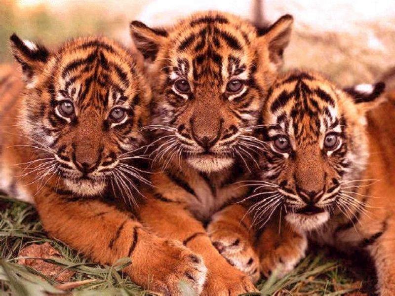 Animaux page 17 - Bebe tigre mignon ...
